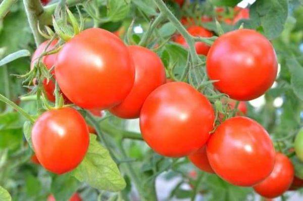 Урожай томатов которые подкармливали удобрением аммофоска
