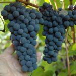 Синий виноград триумф