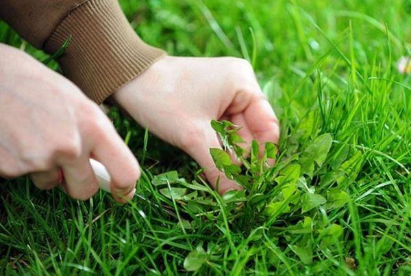 Если не вносить подкормки, то газон зарастет сорной травой