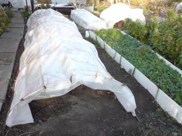 Укрытие виноградной лозы на зиму
