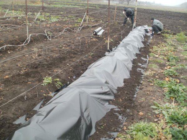 Сорт винограда Велес следует укрыть на зиму