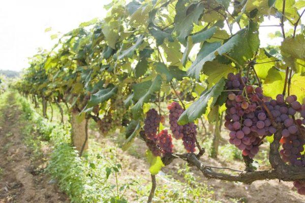 Заросший виноград