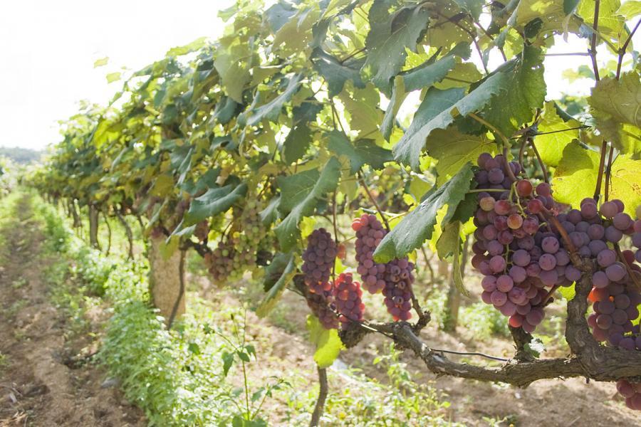 Выращивание сортового винограда 25