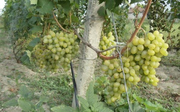 Данный сорт винограда пользуется большой популярностью среди виноградарей и виноделов