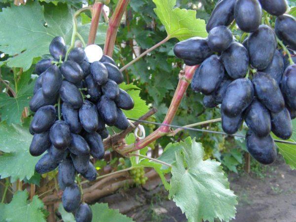 Ягоды винограда сорта велика