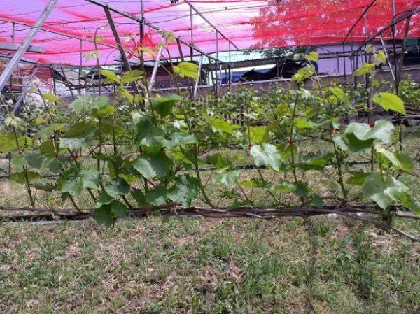 Формировать кусты необходимо для выращивания хорошего урожая