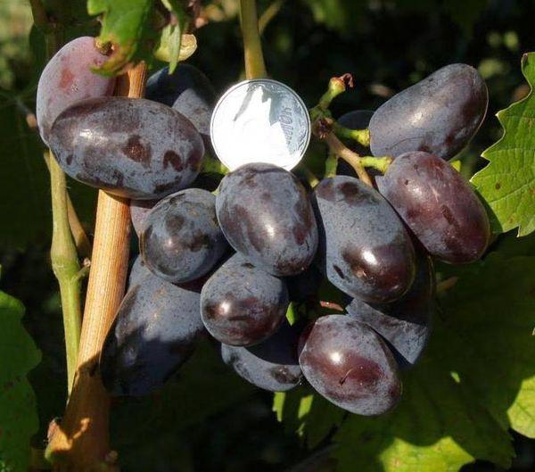 Длина ягод сорта Байконур достигает 4 см в длину