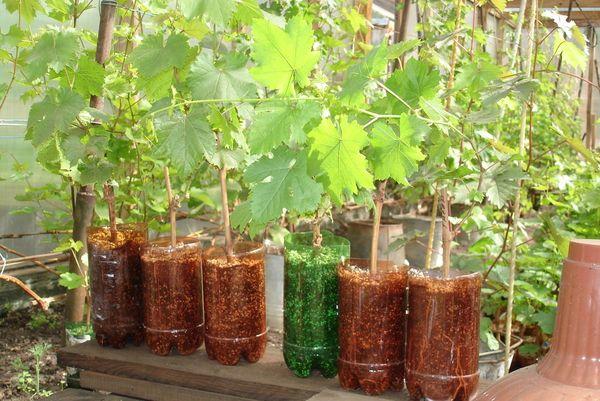 Саженцы, заготовленные с осени, высаживают в марте