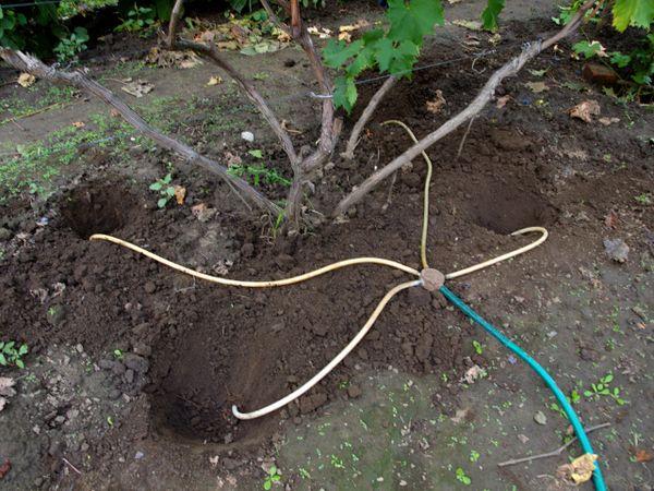 Весной виноград Байконур необходимо поливать ежедневно