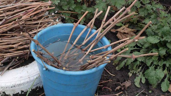 Для размножения черенкованием необходимо выбирать ветки с крепкой и здоровой древесиной