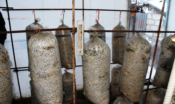 Выращивание грибов в теплице – интересный и необременительный процесс