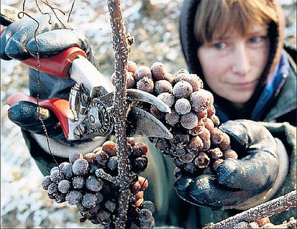 Для достижения максимальной концентрации сахара дачники собирают виноград после первых морозов