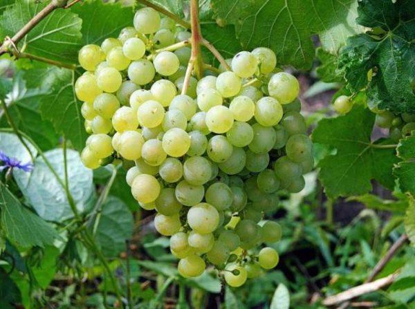 Ягоды винограда сорта алещенькин крупным планом