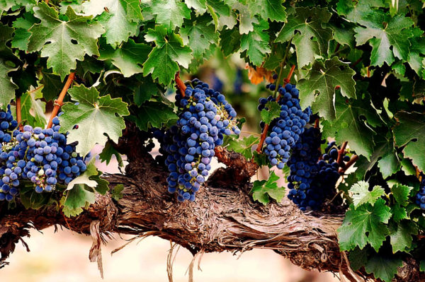 Виноград также нормализцет работу сердца