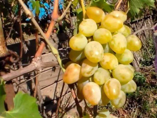Ягоды винограда Монарх крупные, яйцевидной формы