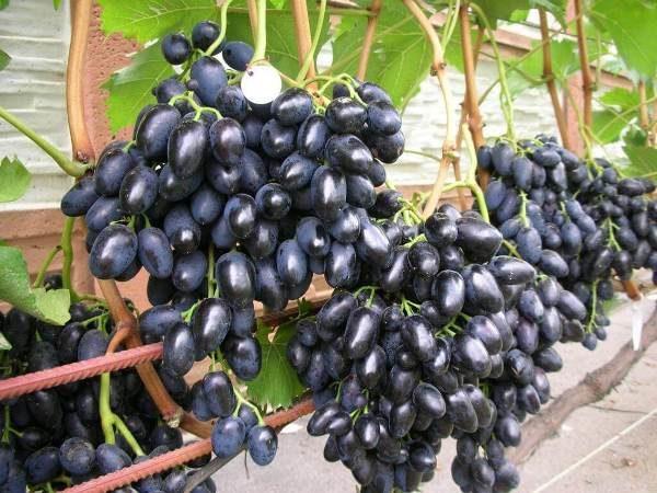 Для хранения винограда подходят только средне и позднеспелые сорта