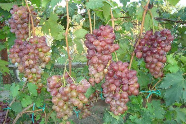Грозди винограда низина на лозе