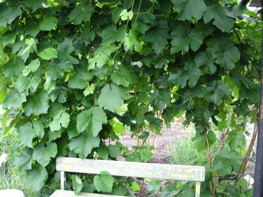 Молодой куст винограда низина