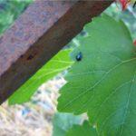 Лист винограда с блошкой