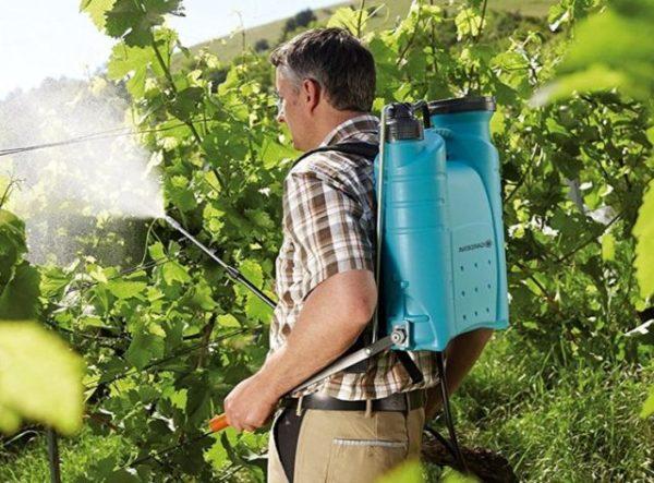 Обработка винограда от поразитов осенью