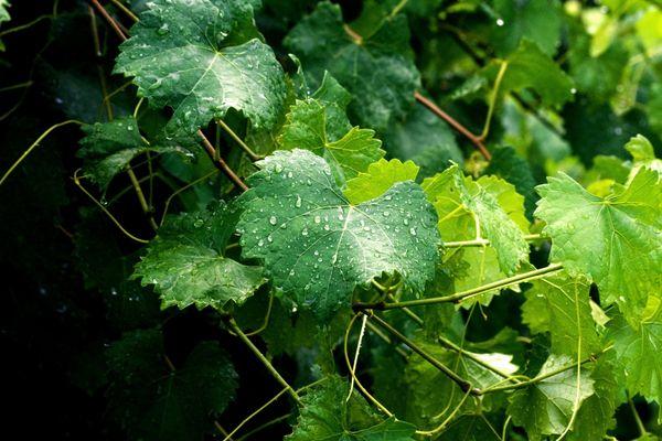 Целебными свойствами обладают не только ягоды винограда, но и листья и лоза