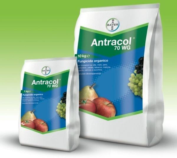 Антракнол можно использовать для опрыскивания винограда от грибка