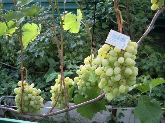 Размеры виноградин в сравнении со спичечным коробком
