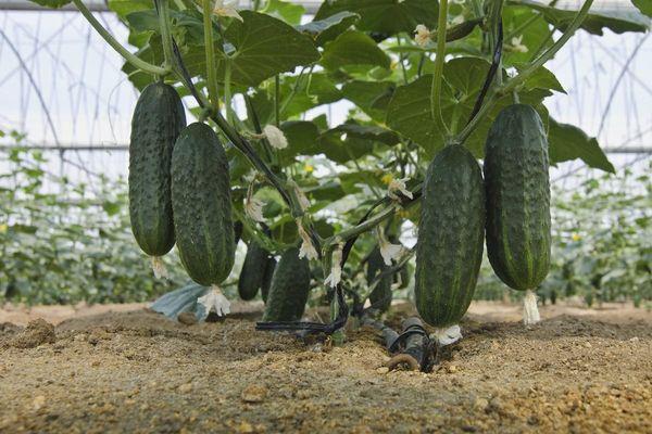 Третья внекорневая подкормка вносится перед сбором урожая