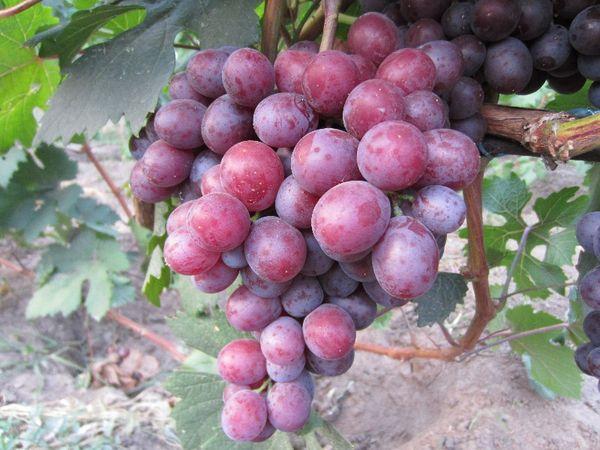 Средняя масса ягод сорта составляет 18 грамм