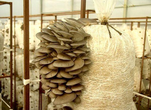 Выращивание вешенок в домашних условиях