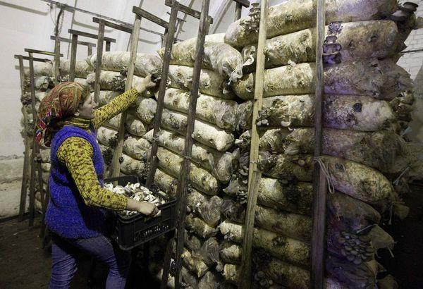 При выращивании вешенок важно поддерживать чистоту до момента уборки урожая
