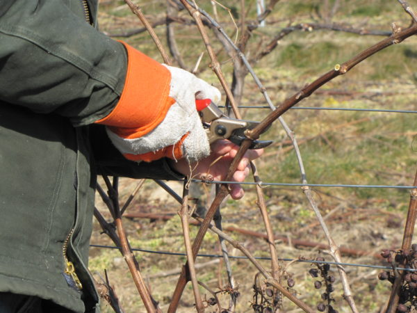 Процесс обрезки виноградной лозы