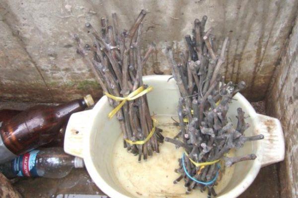 Проращивание черенков в воде