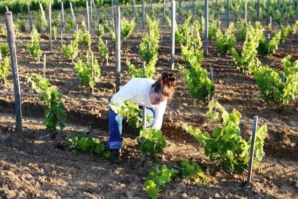 Процесс посадки винограда черенками