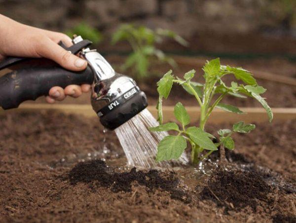 Все поливы томатов осуществляются по разным схемам