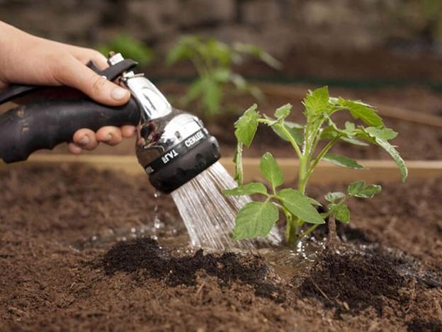 Чем поливать рассаду помидоров 65