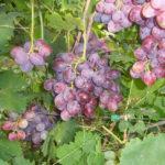 Сорт винограда зефир