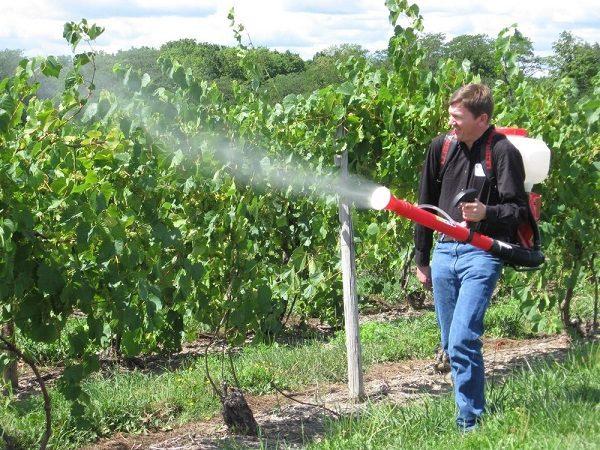 Опрыскивание железным купоросом винограда