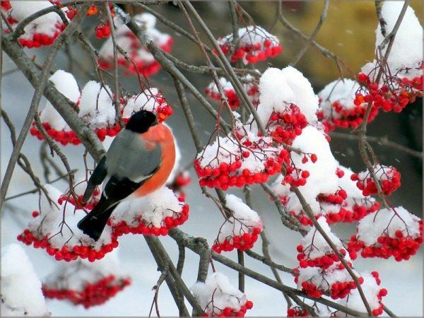 Рябина обыкновенная зимой