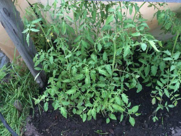 Неухоженные помидоры дают много зелени
