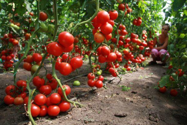 Одним из лучших предшественников для огурцов считаются помидоры