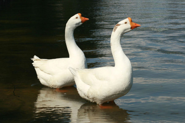 Китайские гуси