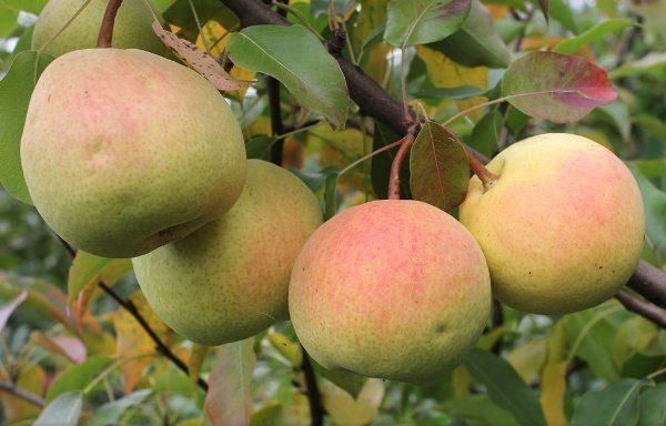 Россошанская - груша с плодами осеннего срока созревания