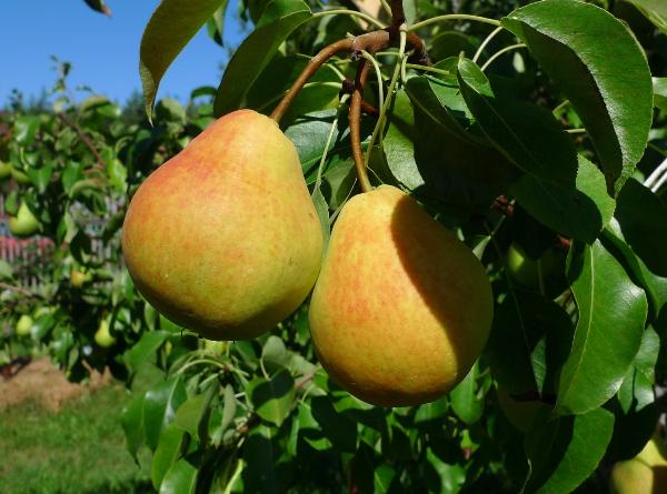Скороплодный сорт груши Кафедральная