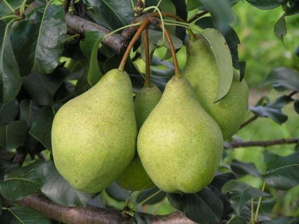Высокоурожайный сорт груши Кондратьевка