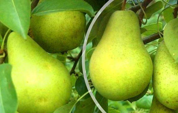 Плоды сорта Первомайская могут сохранятся до 8 месяцев