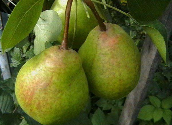Груша Сказочная характеризуется как высокорослый и очень урожайный сорт