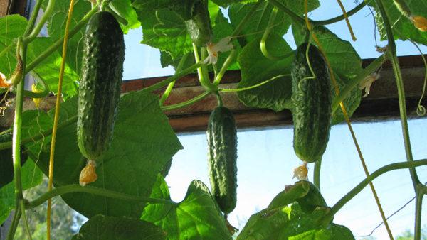 Капуста, лук, бобовые, кукуруза хорошо произрастают после огурцов.