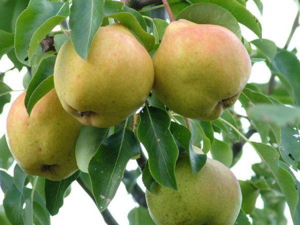 Ветвь груши Москвичка с плодами