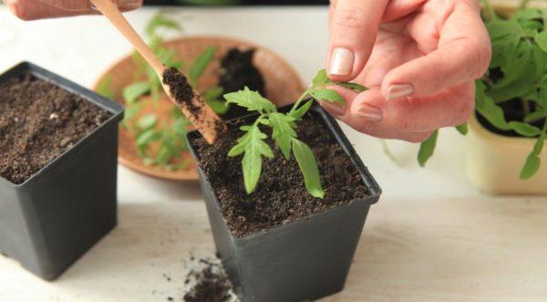 При правильной подготовке почвы подкормки рассаде не нужны